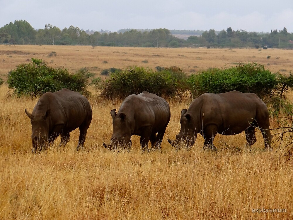 African animals on safari - three very rare white rhinoceros with background by exploramum