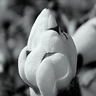 Magnolia Bud in B&W by ctheworld