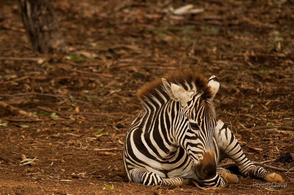 Zebra fowl learning it's legs by PhysioDave