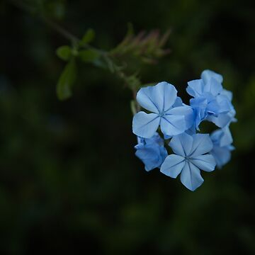 Baby Blue by cmariephoto