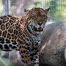 Jaguar by zzsuzsa