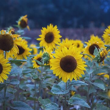 Sunflowers by cmariephoto