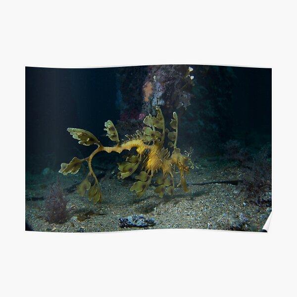 Leafy Seadragon Poster