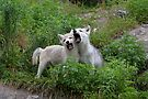 Howling good time - Arctic wolf pups by Jim Cumming