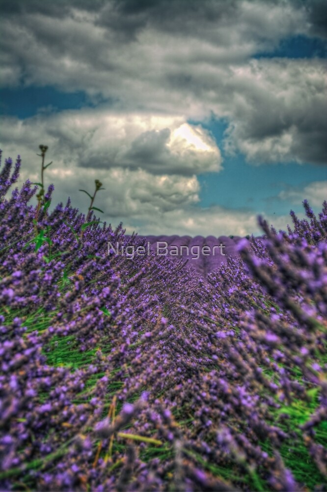 Lavender Bushes by Nigel Bangert