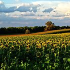 Summer sunflower field by rvjames