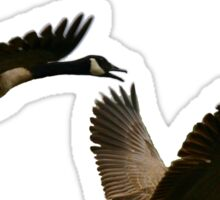 Canadian geese  Sticker