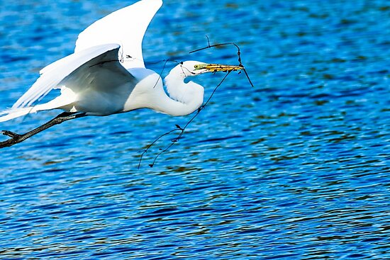 Great Egret Flying  by bengraham