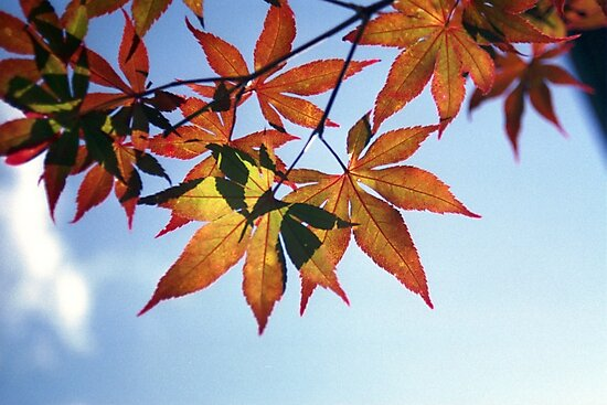 Japanese Maple by alexgigs