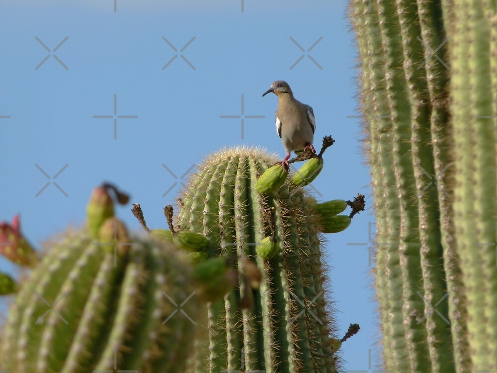 Mourning Dove Among Saguaros by RielTeris