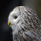 Wise Old Owl by Kathy Baccari