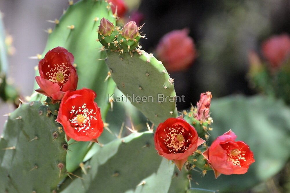 Red Prickly Pear Flowers by Kathleen Brant