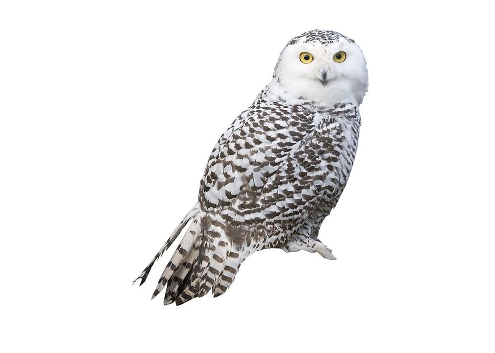 White Owl by Jeremy  Ingram