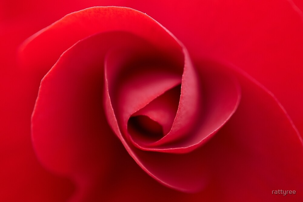 Rose Spiral by rattyree