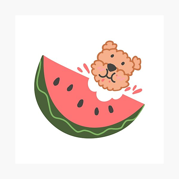 THIS CUTE POODLE LIKES EATING WATERMELONS  Photographic Print