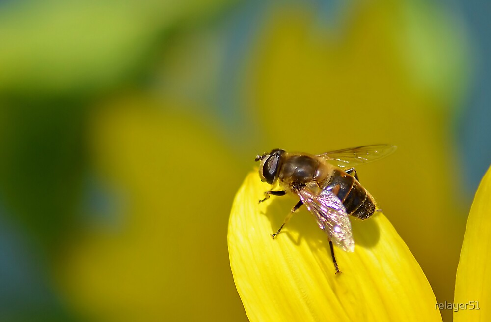 Hoverfly on Sunflower Leaf by relayer51