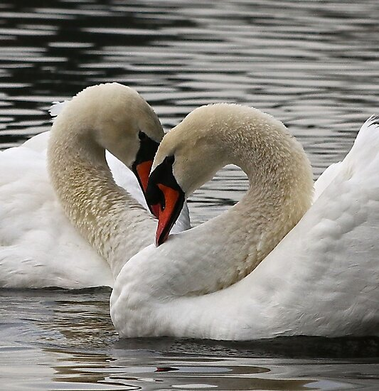 Mute Swans by THurdCreations