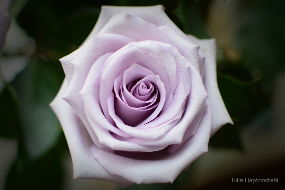 Lavender Rose by Julia Haptonstahl