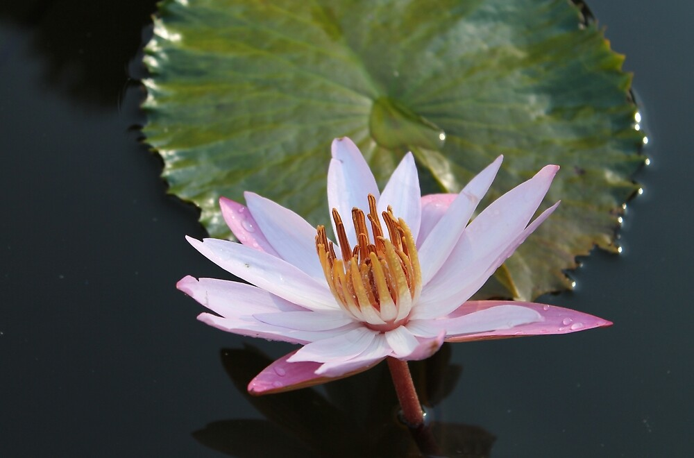 Night blooming water lily by Kelly Morris