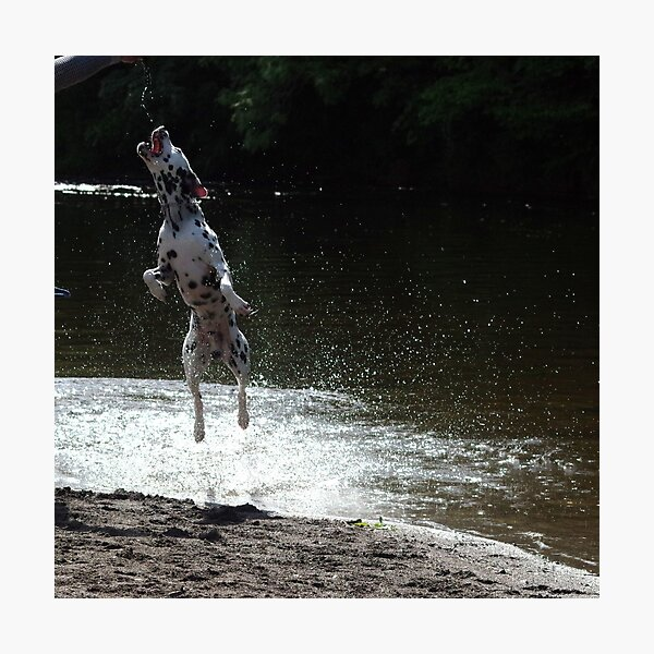 Dalmatian dog jumping from water Photographic Print