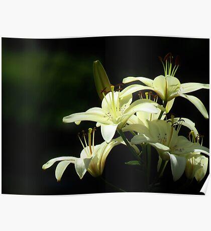 Lily White Elegance  Poster