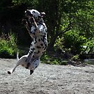 Dalmatian dog catching a stick by turniptowers