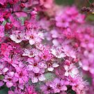 Spiraea by Astrid Ewing Photography