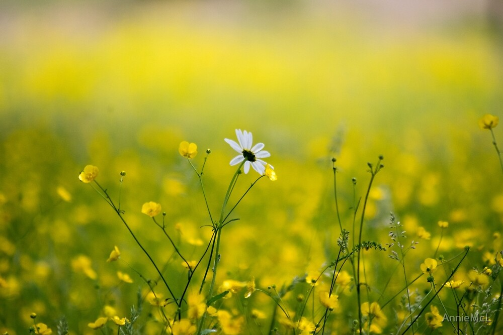 Morning Daisy by AnnieMcL
