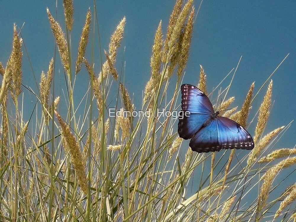 Butterfly on Wheat Grain by Edmond  Hogge