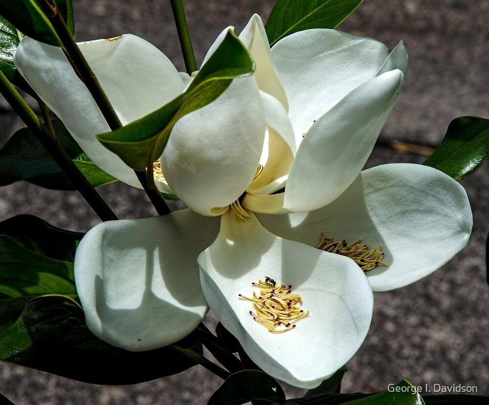 Magnolia Tree by George I. Davidson