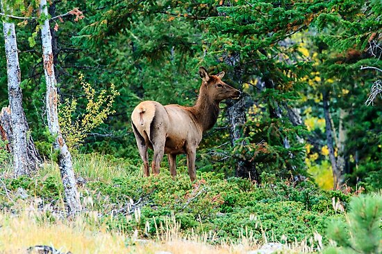 Young Elk at Rocky Mountain National Park by bengraham