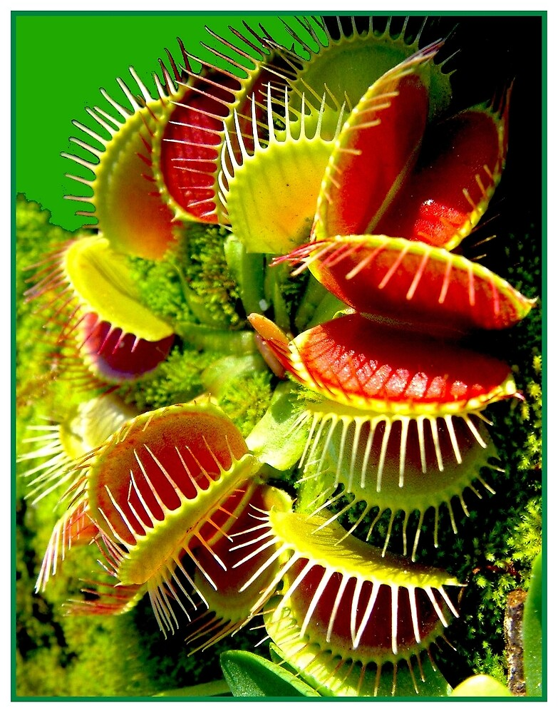 """""""VENUS FLY TRAP"""" Flowered Poster Print by posterbobs"""