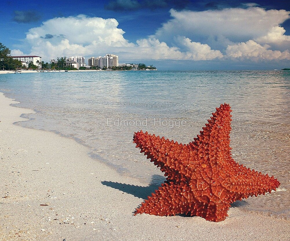 Starfish at Nassau Bahamas by Edmond  Hogge