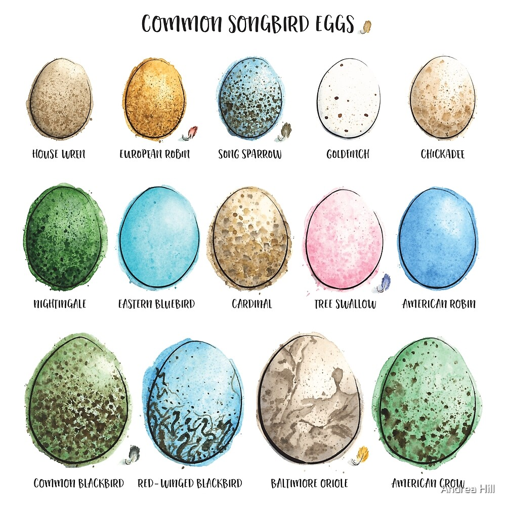Common Songbird Eggs Painted in Watercolor  by Andrea Hill