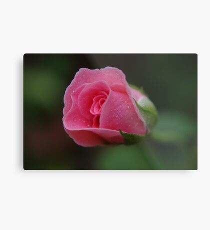 The rose called Dearest   Metal Print