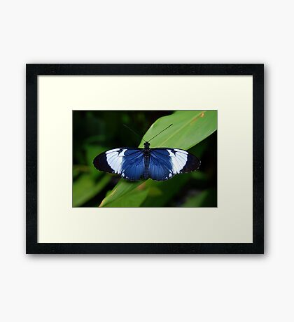 Heliconius Butterfly (Heliconius cydno galanthus) - Costa Rica Framed Print