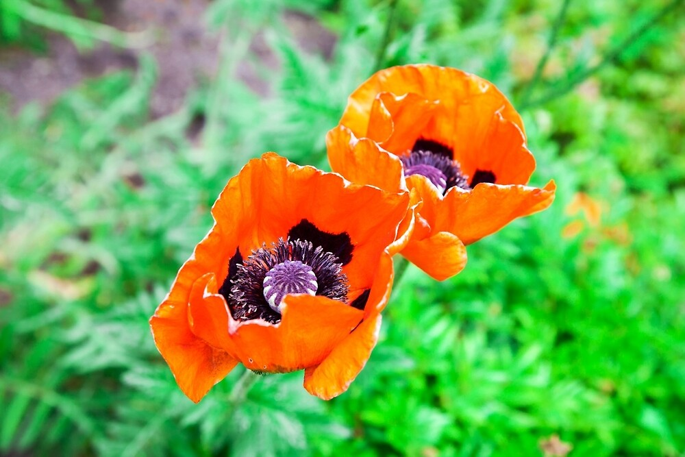 two red poppy closeup by Deeprainbow