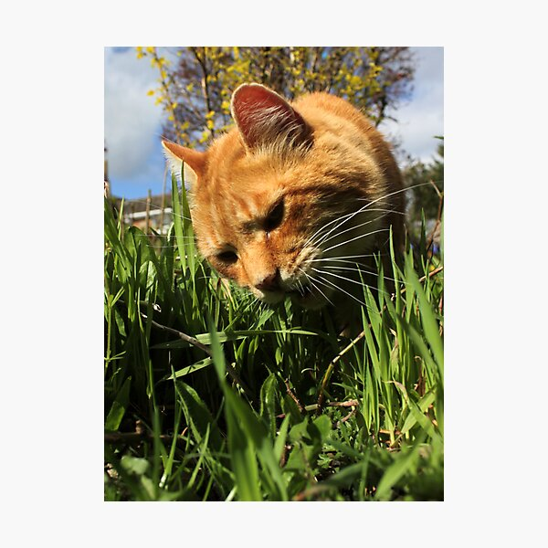Ginger cat eating grass in garden Photographic Print
