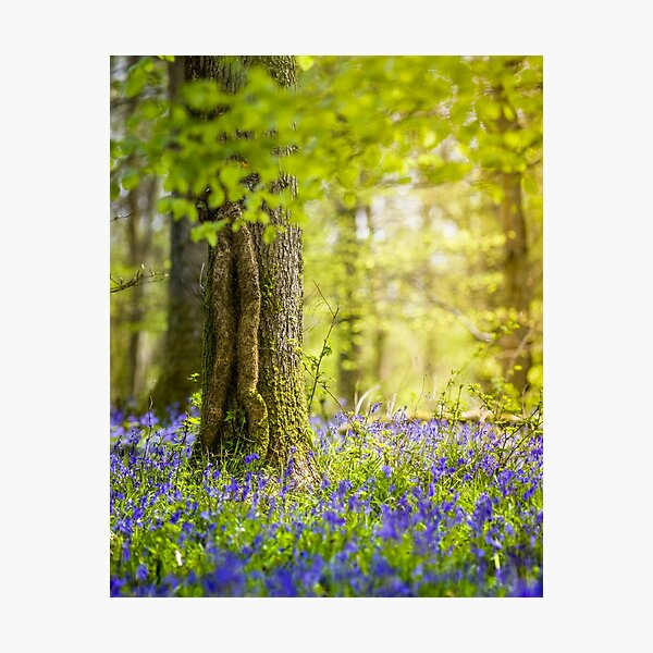 Stunning Bluebell Wood Forest of Dean Photographic Print