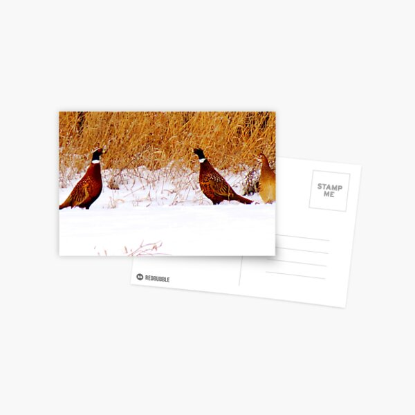 Dualing Pheasants in the snow Postcard