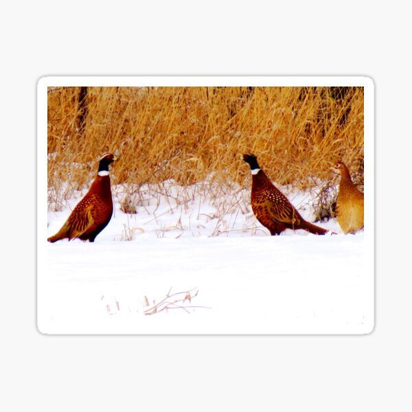 Dualing Pheasants in the snow Sticker