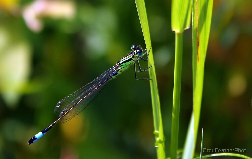 Blue Tailed Damselfly by GreyFeatherPhot