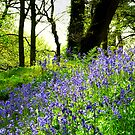 Devon Bluebells by Gaylan Mills