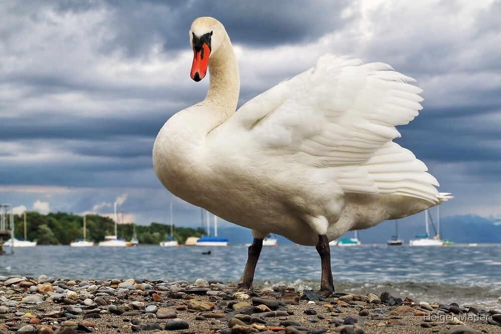 Swan in Hagnau - Lake Constance, Germany by Holger Mader