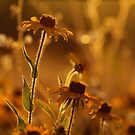 Golden Black Eyed Susan by Jimmy Ostgard