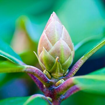 Rhododendron Bud by happywandererph