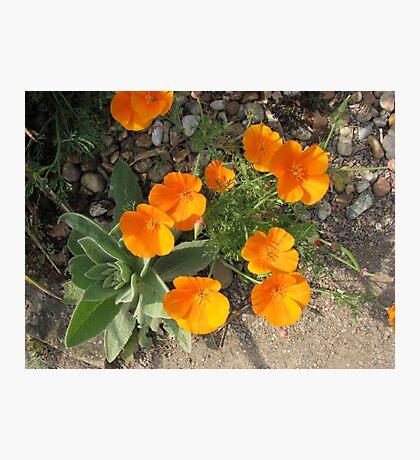 Färbe mich orange! California Poppies Fotodruck