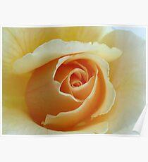 Peach Garden Rose Poster