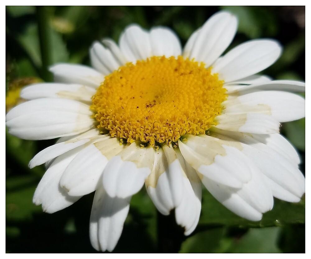 Daisy 1 by MBNerd2003