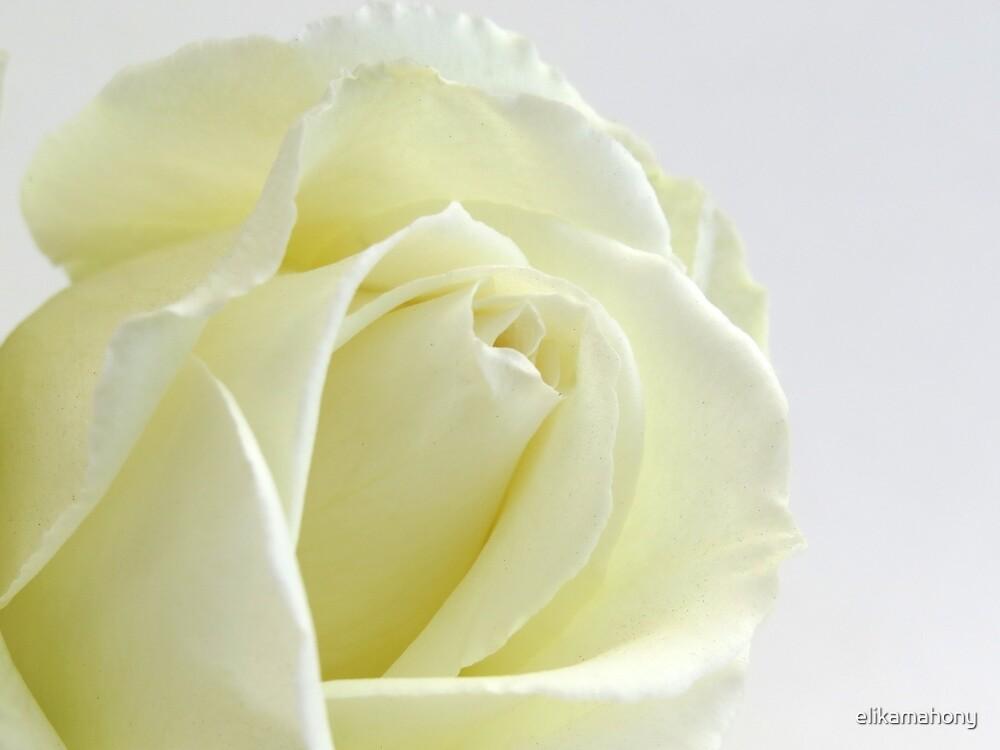 Ivory Rose by elikamahony